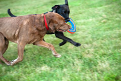 Two dogs running with frisbee Stock Photos