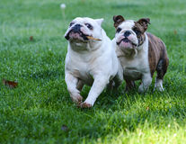 Two dogs running in the grass Stock Photos