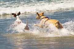 Two Dogs Running Into Ocean Stock Photography
