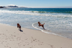 Two dogs running on the ocean beach Royalty Free Stock Photo