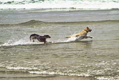 Two dogs running in the ocean water Royalty Free Stock Photo