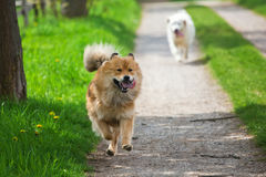 Two Dogs Running On A Country Path Stock Image
