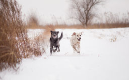 Two dogs running Royalty Free Stock Photography
