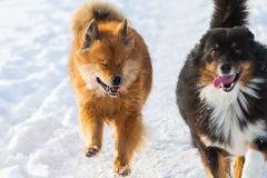 Two dogs running in snow. Australian Shepherd and an Elo dog running in the snow Royalty Free Stock Photo