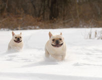 Two dogs running in the snow Stock Image