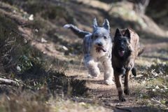 Two dogs running together Royalty Free Stock Photography