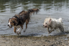 Two dogs running in the water Royalty Free Stock Photos