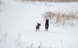 Two dogs running in winter Stock Photography