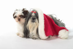 Two Dogs With A Santa Hat. Cute Shih Tzu dogs, one wearing a Santa hat. Year old female dog and a 3 month old puppy stock photography