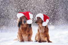 Two adorable dogs in santa hats posing in falling snow royalty free stock photography