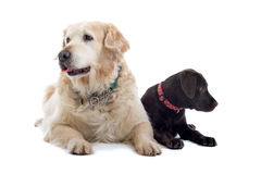 Two dogs sat together. Golden Retriever and Chocolate Labrador puppy sat together, isolated on white background Royalty Free Stock Photography