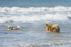 Two dogs in the sea Royalty Free Stock Photography