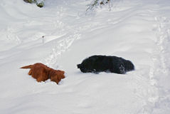 Two dogs search, lying on a deep white fluffy snow stock photography