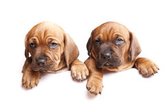 Two dogs send a message! stock images