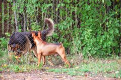 Two dogs meeting royalty free stock photography