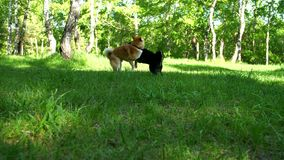 Two dogs of the Shiba breed are playing on a forest glade. Two dogs of the Shiba breed are playing on a sunny forest glade stock video