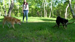 Two dogs of the Shiba breed are playing on a forest glade. Two dogs of the Shiba breed are playing on a sunny forest glade stock footage
