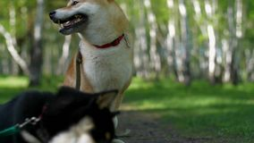 Two dogs of the Shiba breed are playing on a sunny forest glade. Two dogs of the Shiba inu breed are playing on a sunny forest glade stock footage