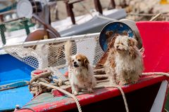 Two dogs on the ship. Two shaggy, small dogs on the deck of a fishing ship close-up royalty free stock photography