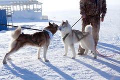 Two dogs Siberian Husky Royalty Free Stock Photo