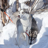 Two dogs Siberian Husky Royalty Free Stock Image