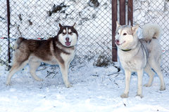 Two dogs Siberian Husky Royalty Free Stock Photos