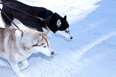 Two dogs Siberian Husky Stock Images