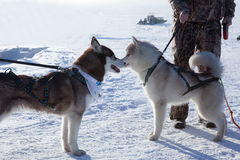 Two dogs Siberian Husky Stock Photos