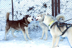 Two dogs Siberian Husky Royalty Free Stock Photo