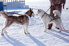 Two dogs Siberian Husky Stock Photo