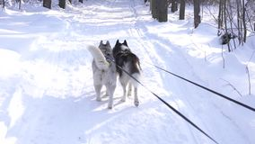 Two dogs of Siberian husky on leash in the forest. Two dogs of Siberian husky on a leash in the forest, jogging stock video footage