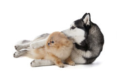 Two dogs (Siberian Husky and Pomeranian) cuddling. On a white background in studio stock image