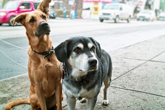 Two dogs on sidewalk. Two pet dogs waiting on sidewalk on city street Royalty Free Stock Image