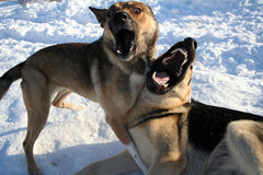 Two dogs singing. ).  Game at winter Stock Image