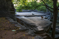 Two dogs sit on what is believed to be the Audience Hall at Sigiriya Rock in Sri Lanka. Royalty Free Stock Photos