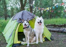 Two dogs sits in forest next to the tent in the evening at sunset Royalty Free Stock Image