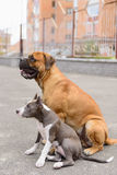 Two dogs sits Royalty Free Stock Photography