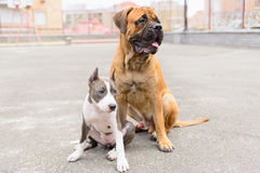 Two dogs sits Stock Images