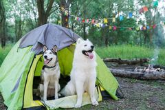 Two dogs sits on nature next to the tent in the evening at sunset Royalty Free Stock Images