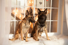 Two dogs sitting on background Royalty Free Stock Photo