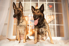 Two dogs sitting on background Stock Photo