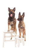 Two dogs sitting on background Royalty Free Stock Images