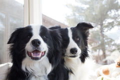 Two dogs sitting. Two cute border collie dogs sitting next to each other looking happy Royalty Free Stock Photo