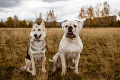 Two dogs are sitting at a field stock photos