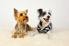 Two dogs sitting on fur stock image