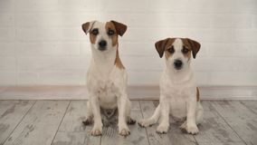Two dogs sitting at home stock video footage