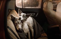 Two dogs sitting together in the car under a blanket. Travel with Pets. royalty free stock images