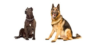 Two dogs sitting together. Isolated on white background royalty free stock photos