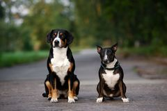 Two dogs sitting together outdoors. Two black dogs different breed posing together royalty free stock image