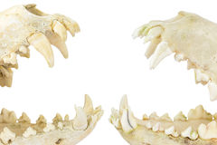 Two dogs skulls with open mouths. Two dogs skulls with jaws and teeth in open mouths isolated on white background Royalty Free Stock Images